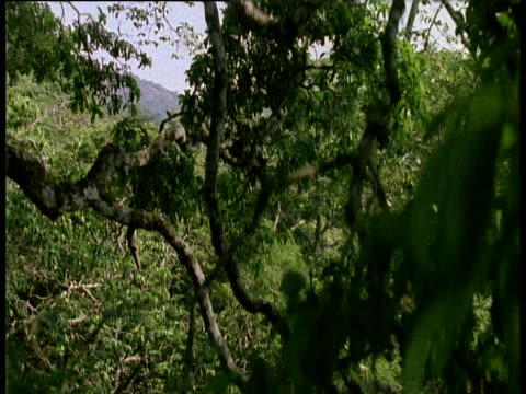 Crane down past forest trees, foliage and undergrowth, mountain range in background, Assam