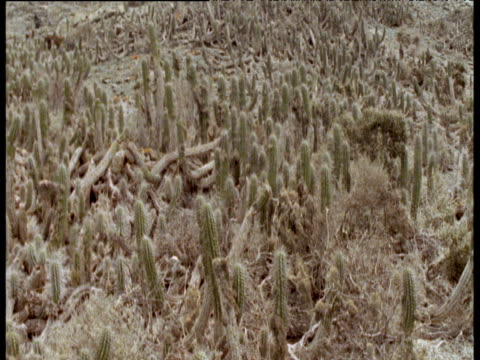 crane down to cactus patch in atacama desert - cactus texture stock videos & royalty-free footage