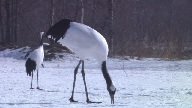 crane feeding - kleine gruppe von tieren stock-videos und b-roll-filmmaterial