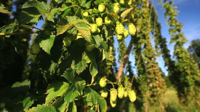 hd crane: hop garden close-up - hops crop stock videos and b-roll footage