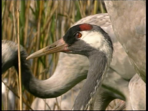 cu crane looking alert, amongst flock, israel - cinque animali video stock e b–roll