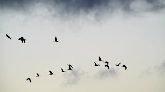 crane migration in autumn, bresewitz, zingst, fischland-darß-zingst, baltic sea, mecklenburg-vorpommern, germany - ツル点の映像素材/bロール