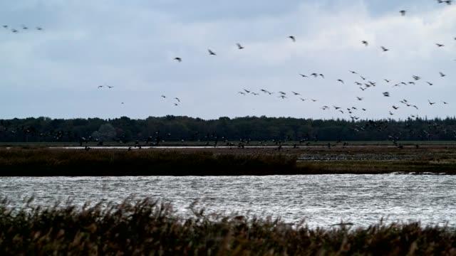 crane migration in autumn, bresewitz, zingst, fischland-darß-zingst, baltic sea, mecklenburg-vorpommern, germany - ostsee stock-videos und b-roll-filmmaterial