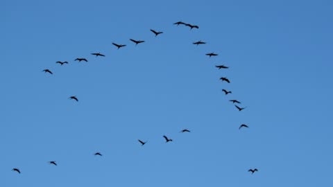 vídeos y material grabado en eventos de stock de crane migration in autumn, kranorama, günzer see, groß mohrdorf, vorpommersche boddenküste, mecklenburg-vorpommern, germany - pájaro