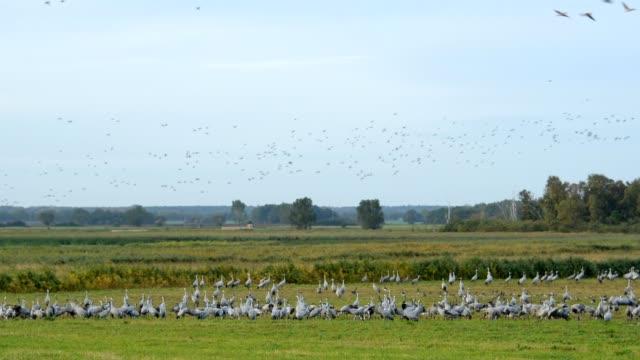crane migration in autumn, kranorama, günzer see, groß mohrdorf, vorpommersche boddenküste, mecklenburg-vorpommern, germany - crane stock videos and b-roll footage