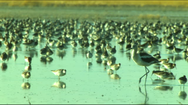 a crane quickly moves past flocks of birds foraging in shallow water. - foraggiamento video stock e b–roll