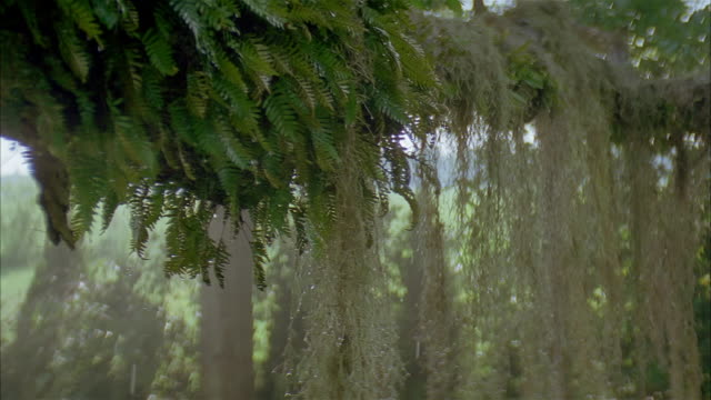 crane shot close up water dripping from spanish moss hanging from tree branch - epiphyte stock videos & royalty-free footage