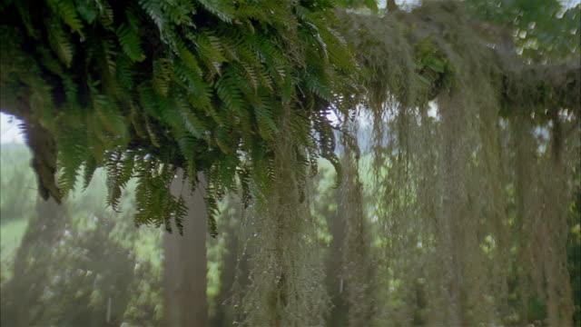 vídeos y material grabado en eventos de stock de crane shot close up water dripping from spanish moss hanging from tree branch - musgo español