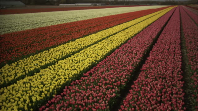 Crane shot descends to show pink tulips amongst vast swathes of ordered tulips growing in a nursery in the Netherlands.