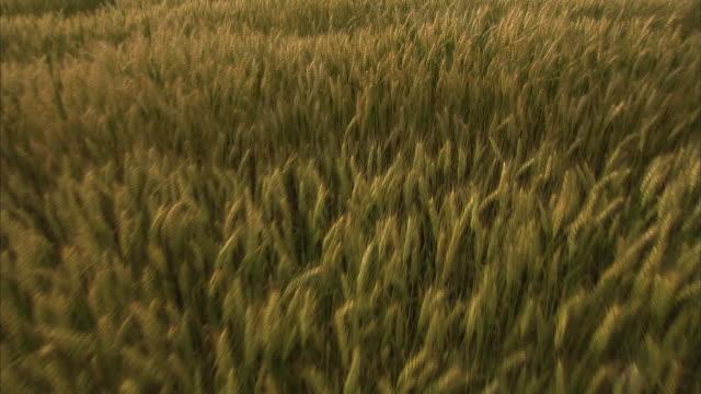 crane shot, golden wheat field in early summer, kagawa, japan - crane shot stock videos & royalty-free footage