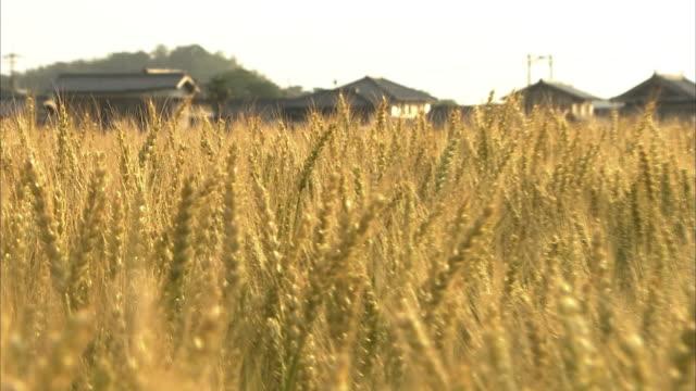 crane shot, golden wheat field in early summer, kagawa, japan - 小麦点の映像素材/bロール