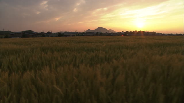 crane shot; golden wheat field in evening glow, kagawa, japan - crane shot stock videos & royalty-free footage