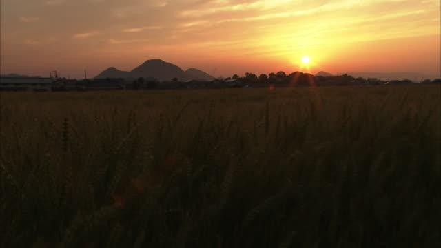 crane shot; golden wheat field in evening glow, kagawa, japan - crane shot stock videos & royalty-free footage