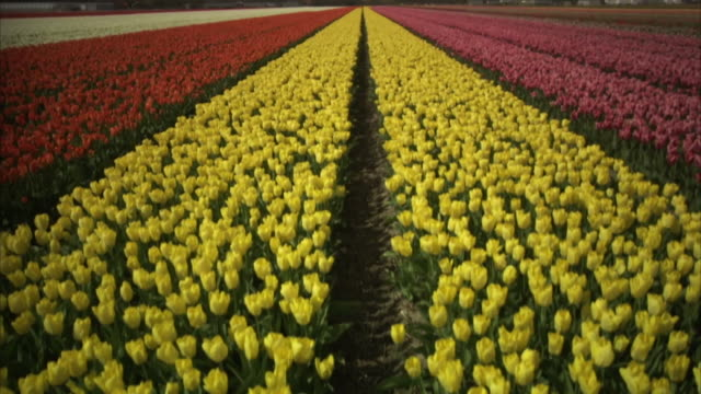 Crane shot lifting over vast rows of brightly-coloured tulips in a nursery in Amsterdam, the Netherlands.