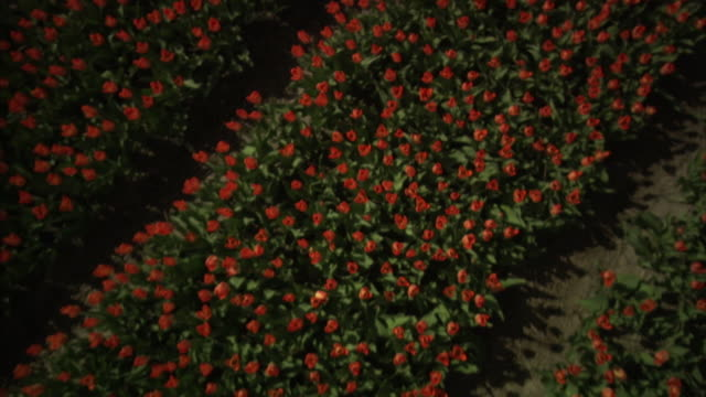 crane shot lifts over a dense row of orange tulips growing in a nursery, the netherlands. - crane shot stock videos & royalty-free footage