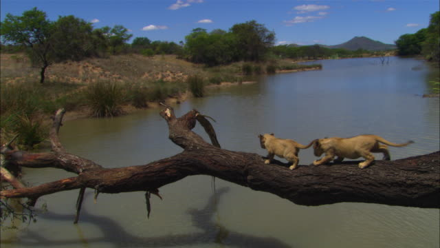 HA crane shot of 2 very young African lion cubs crossing river on a fallen tree trunk
