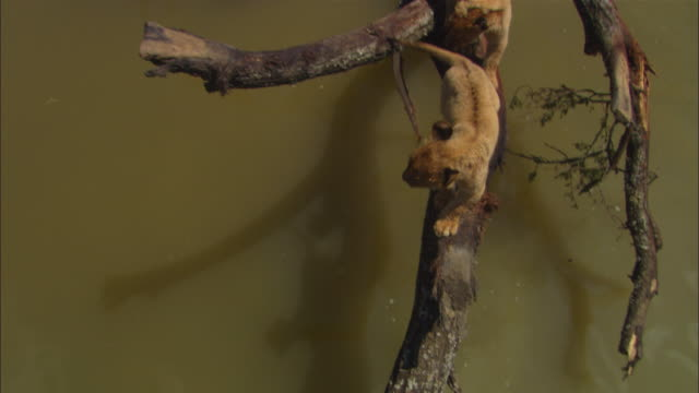 HA crane shot of 2 very young African lion cubs crossing river on a fallen tree trunk and jumping down onto riverbank