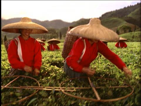 stockvideo's en b-roll-footage met crane shot of asian women in straw hats picking tea in field / puncak highlands of west java / indonesia - strohoed