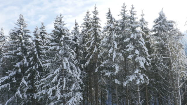 Crane shot of pine trees covered in snow