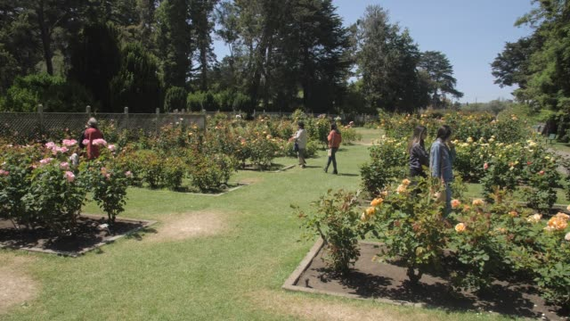 crane shot of roses in rose garden in golden gate park, san francisco, california, united states of america, north america - crane shot stock videos & royalty-free footage