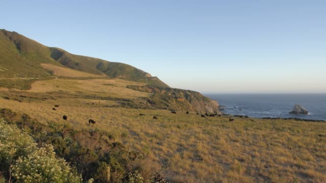vidéos et rushes de crane shot of sunset and cows from cabrillo highway 1 at big sur, california, united states of america, north america - cadrage aux genoux