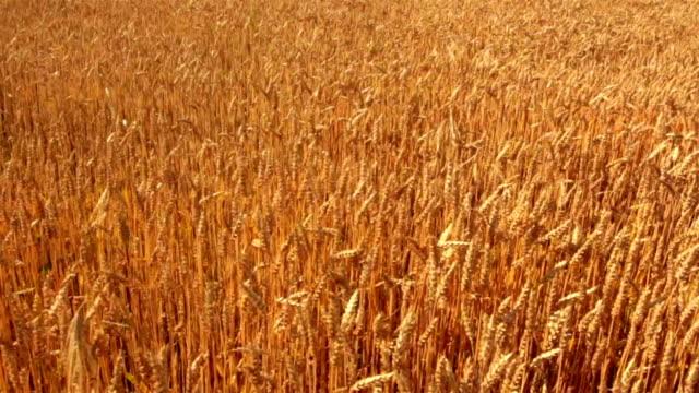 crane shot of wheat field - crane shot stock videos & royalty-free footage