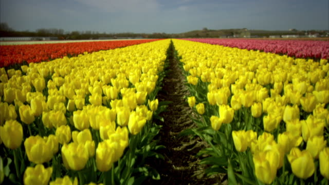crane shot over a field of brightly coloured tulips in holland. - holland stock videos and b-roll footage