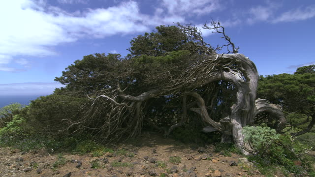 crane shot over a juniper tree, bent into an unusual shape due to high winds on el hierro. - 強風点の映像素材/bロール
