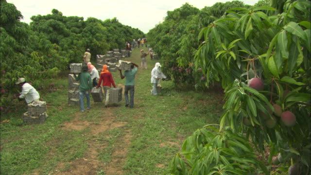 Crane shot over a mango farm in Juazeiro, Brazil.