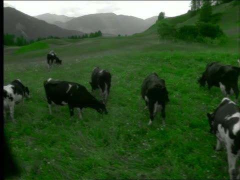 GREY crane shot over cows standing + grazing in green pasture on hilltop