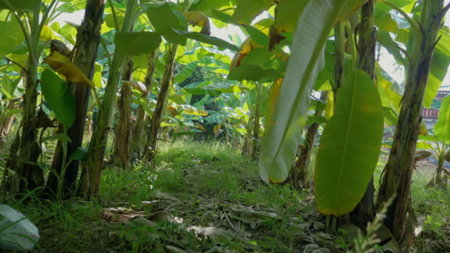 crane shot; rows of trees at banana plantation - banana stock videos & royalty-free footage
