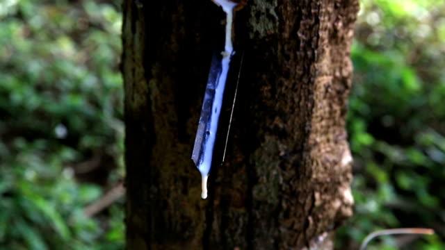 HD: Crane shot Caucho estrellas de un árbol de caucho