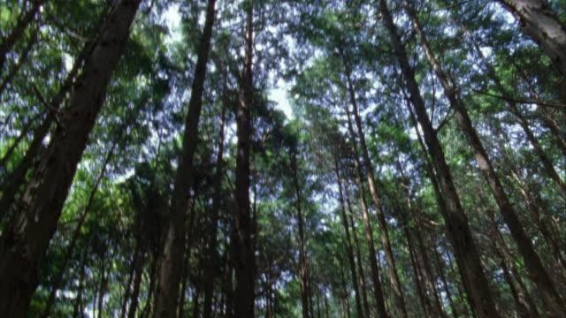 vidéos et rushes de crane shot through forest / tilt up to sunlight streaming through treetops / hagi, yamaguchi prefecture, japan - sparklondon