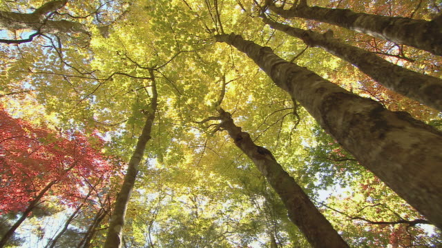 crane shot up through woods with bright autumn foliage. - tree canopy stock videos and b-roll footage