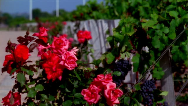 Crane up from roses and red grapes growing along fence and up over vineyard to view of Tower of Saint-Lambert at Chateau Latour on bank of Gironde / Pauillac, Medoc, France