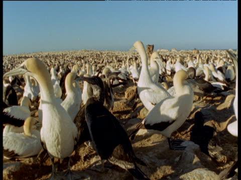 vidéos et rushes de crane up over cape gannet colony - colony
