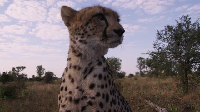 Crane up over cheetah on savannah, Zimbabwe
