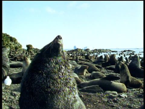vídeos y material grabado en eventos de stock de crane up over crowded breeding colony of fur seals on antarctic beach - georgia del sur
