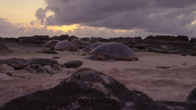 crane up over nesting green turtles (chelonia mydas), raine island, australia - green turtle stock videos & royalty-free footage