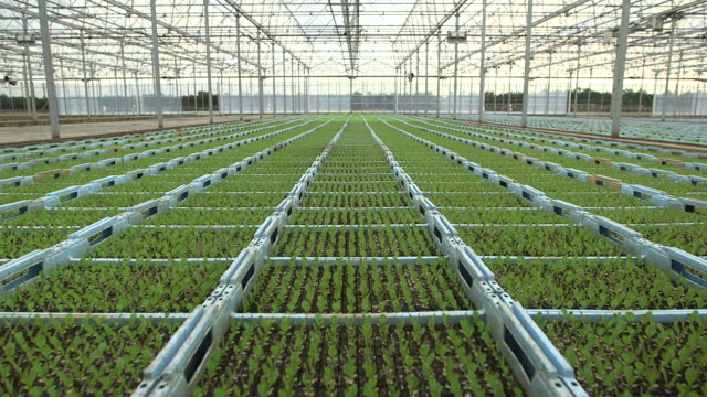 vidéos et rushes de crane up over seedling lettuce plants on farm, uk - 10 secondes et plus