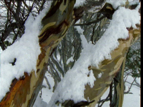 Crane up over twisted patterned trunk of snow gum covered in snow, Australian Alps, Kosciuszko National Park, New South Wales