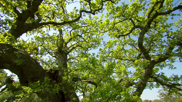 Crane up through oak tree (Quercus) branches, Dorset, England