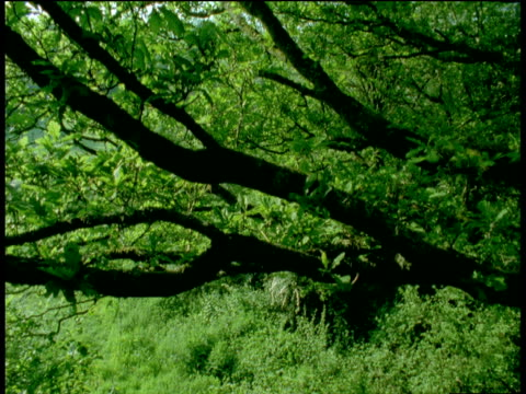 "vidéos et rushes de crane up through tree branches, devon - ""bbc natural history"""