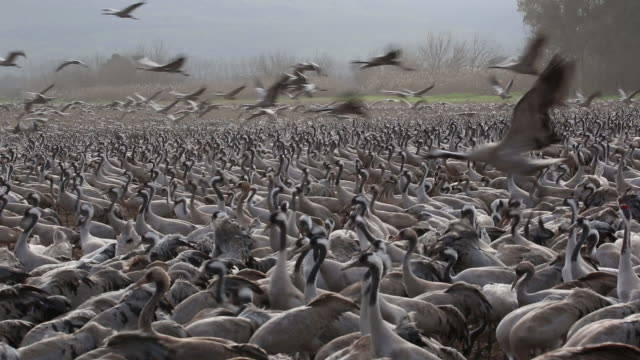 cranes 2 - large group of animals stock-videos und b-roll-filmmaterial