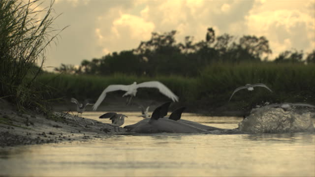 stockvideo's en b-roll-footage met cranes and other birds fly over foraging dolphins along a coastline. - foerageren