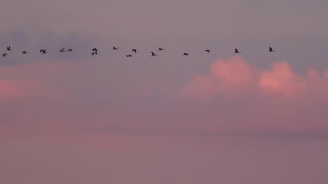 vidéos et rushes de les grues volent au coucher du soleil - crépuscule