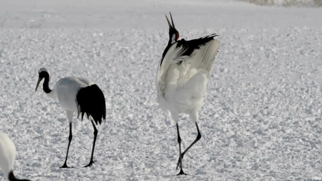 Cranes are seen singing and dancing to each other to try to lure partner at a protected area in northern Japan At Akan International Crane Center in...