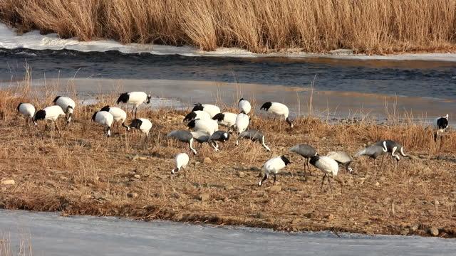 cranes at togyo reservoir / cheorwon-gun, gangwon-do, south korea - animal neck stock videos & royalty-free footage