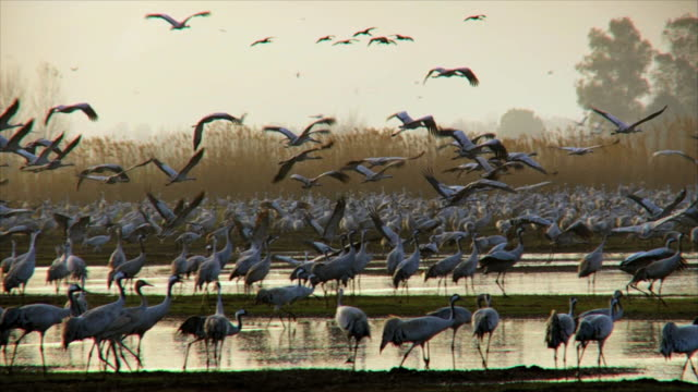ws pan slo mo cranes at valley in early morning light / hula, galilee, israel - flock of birds stock videos & royalty-free footage