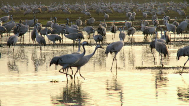 ms pan slo mo cranes feeding at valley in early morning / hula, galilee, israel - flock of birds stock videos & royalty-free footage
